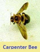 pest control for carpenter bee 44