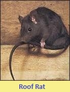 Pest control for Rats 46