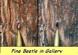 Pine beetle in gallery 6