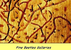 Pine beetle gallery in pine tree taken by arborist 5